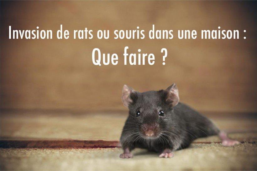 Invasion de rats ou souris dans une maison