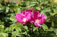Huile végétale de rose musquée pour la peau
