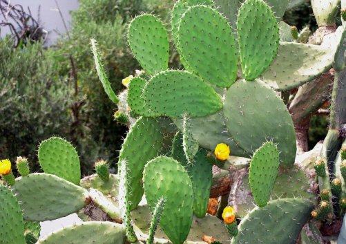 figuier-cactus-peau