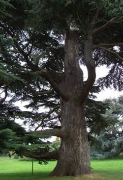Les bois: le Cèdre du Liban