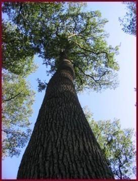 Les bois: le Chêne