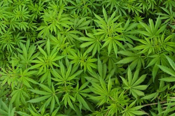 Quels sont les risques liés au cannabis?